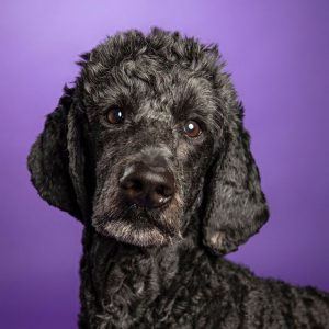 portrait of Gus the black poodle on a purple background