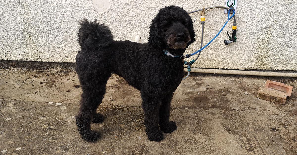 Black standard poodle before grooming