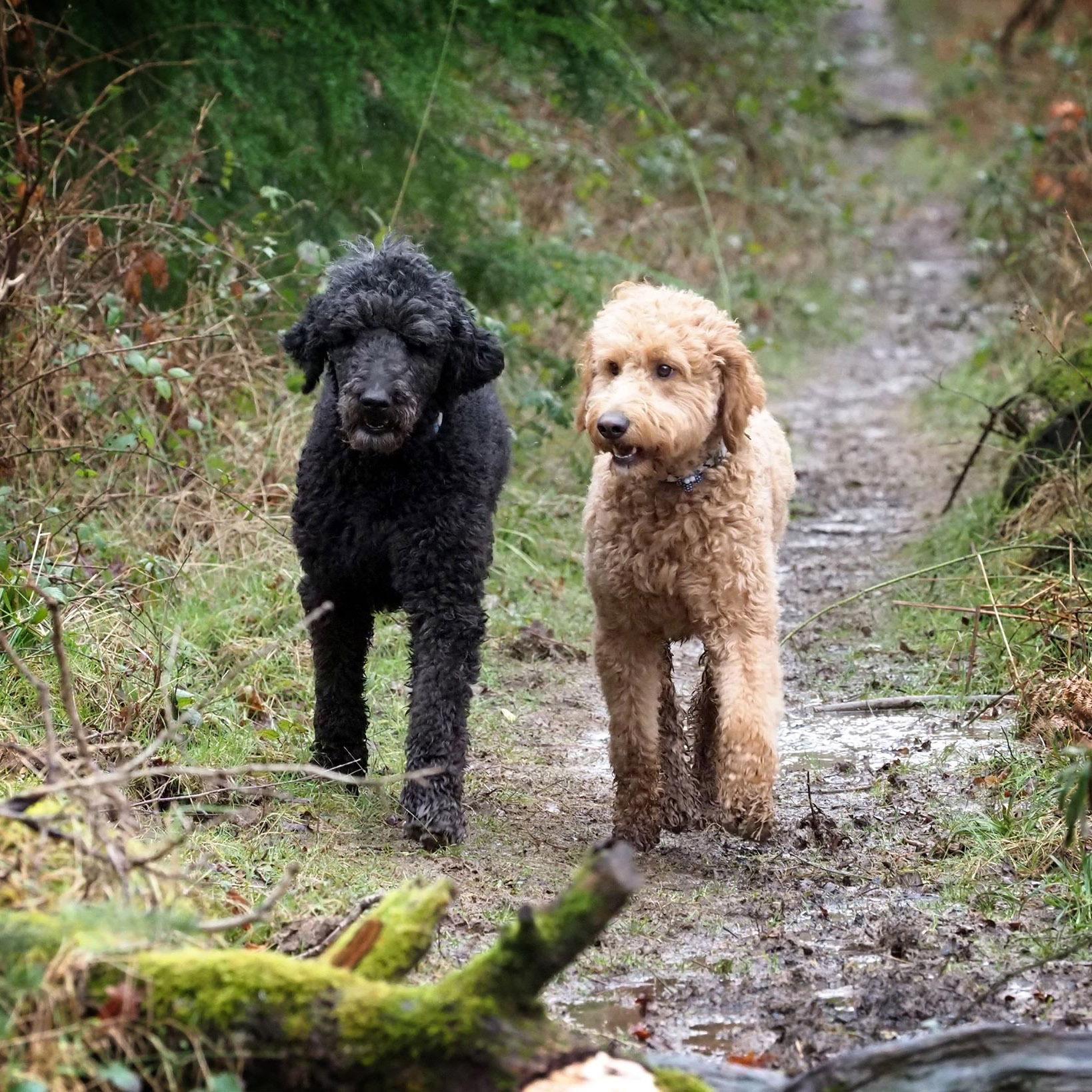 standard poodle and goldendoodle